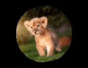 Lieferansicht Wandtattoo Löwenbaby Jima