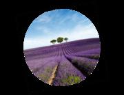 Lieferansicht Wandtattoo Lavendelfeld