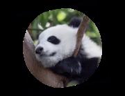 Lieferansicht Wandtattoo Panda Baby Minhao