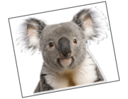 Lieferansicht Wandtattoo Koala Apanie